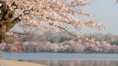 View of blooming cherry blossoms blooming from the Tidal Basin