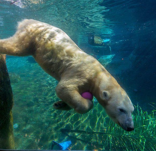 picture of polar bear swimming